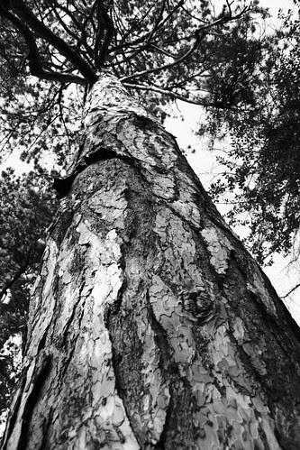 St Mary's Churchyard Tree