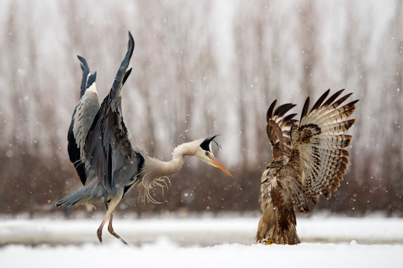 heron vs hawk