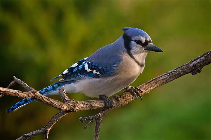 All About Blue Jays Frankie Flowers Grow Eat Live Outdoors