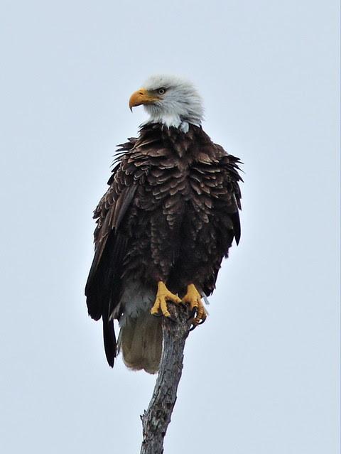 Bald Eagle female roosting 3-20131216