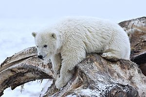 Polar Bear (Cub), Arctic National Wildlife Ref...