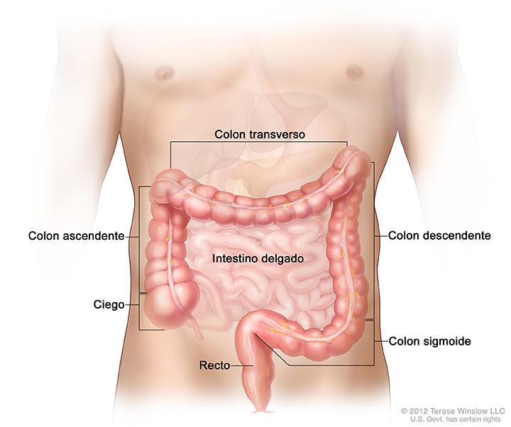 Partes del colon; esta ilustración muestra el colon ascendente, el colon transverso, el colon descendente y el colon sigmoide. También se observan el intestino delgado, el ciego y el recto