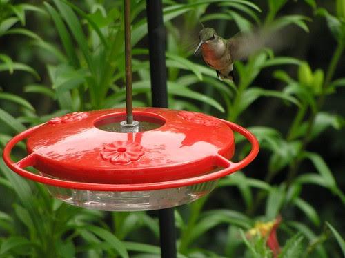 Hummingbird13
