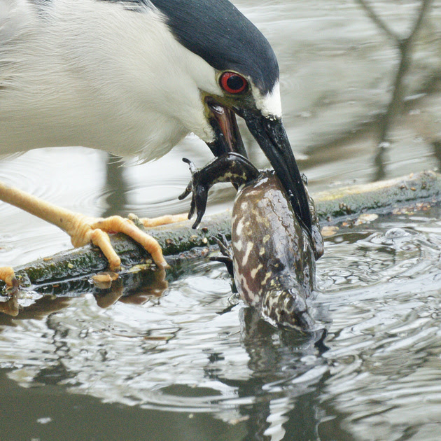 Ed Gaillard: birds &emdash; Black-Crowned Night Heron eating a frog, Central Park