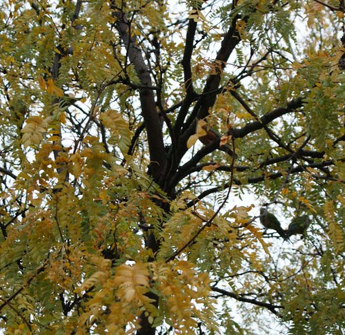 wild parakeets in Hyde Park on the campus of The University of Chicago