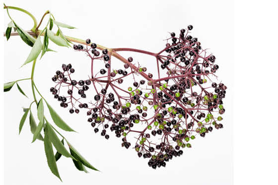 Slide 17 de 18: Elderberry jam (made from the berries) is delicious but avoid the leaves, twigs and seeds as eating them can cause vomiting. Pick only ripe berries and avoid eating them raw.
