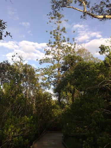 Hoop Pine - Oxley Reserve, Murrumba Downs