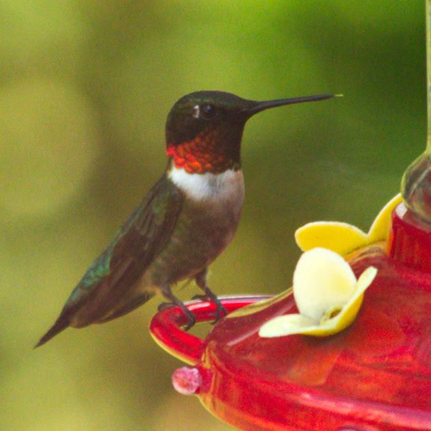 Ed Gaillard: birds &emdash; Ruby-Throated Hummingbird, Traveler Food & Books
