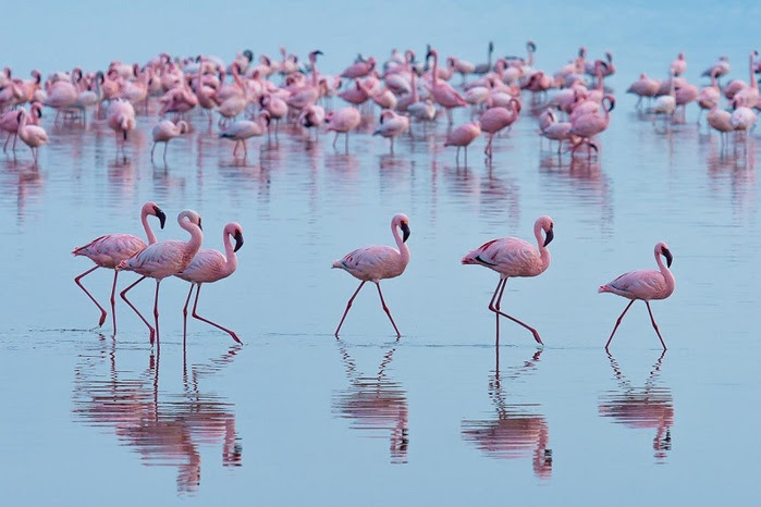 2 Pink Flamingos on Lake Nakuru in Kenya (800x566, 90Kb)