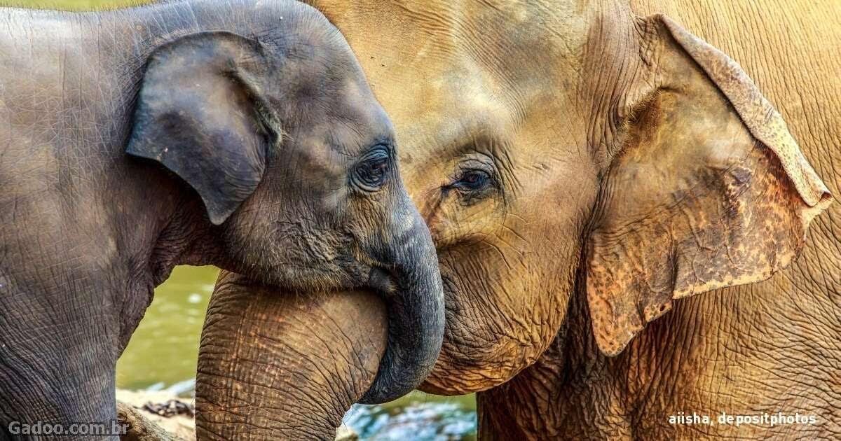 A maior parte dos animais não têm avós, mas os elefantes sim.