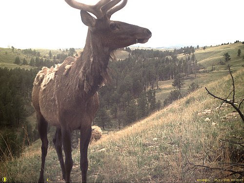 Trail camera elk, click for larger version.