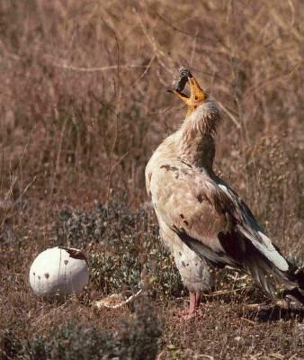 El alimoche es una de las especies más castigadas por los cebos envenenados.