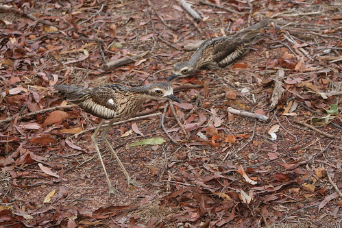 curlew2 007