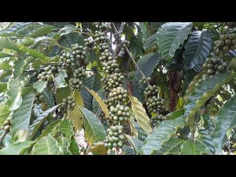 Con đường cây cà phê say trái ở Bảo Lộc (Lâm Đồng)