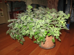 Аихризон («дерево счастья»)