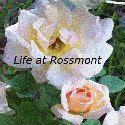 Life at Rossmont