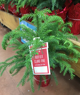 Norfolk Island Pine University Of Florida Institute Of Food And