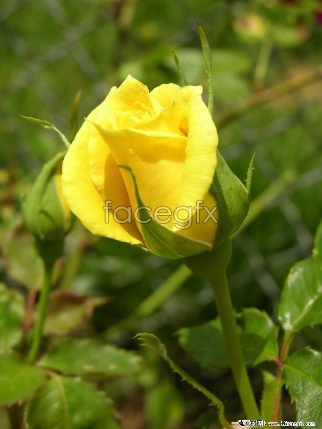 Download Hd Yellow Roses Pictures Over Millions Vectors Stock
