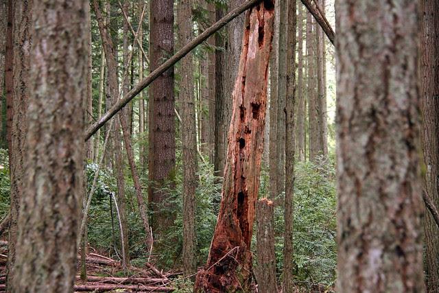 IMG_3599 Woodpecker Tree
