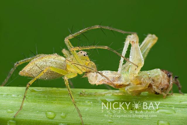 Lynx Spider (Oxyopidae) - DSC_5215