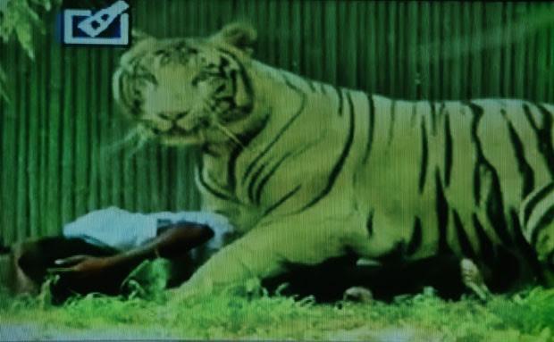 Em imagem reproduzida do canal de TV indiano Headlines Today, o tigre é visto sobre sua vítima no Zoológico de Déli (Foto: AFP/Headlines Today)