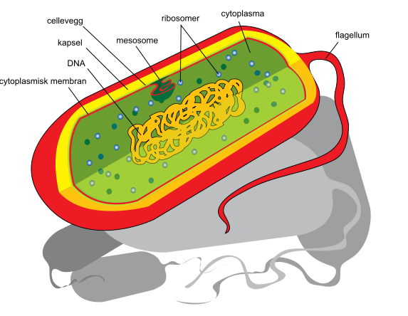 573px Prokaryote_cell_diagram_no