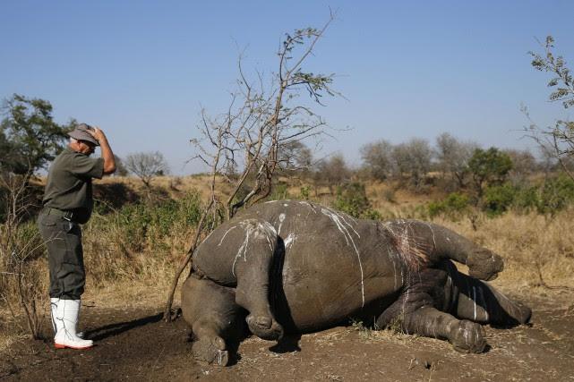Chaque année, des milliers de rhinocéros sont abattus... (Photo Siphiwe Sibeko, archives Reuters)