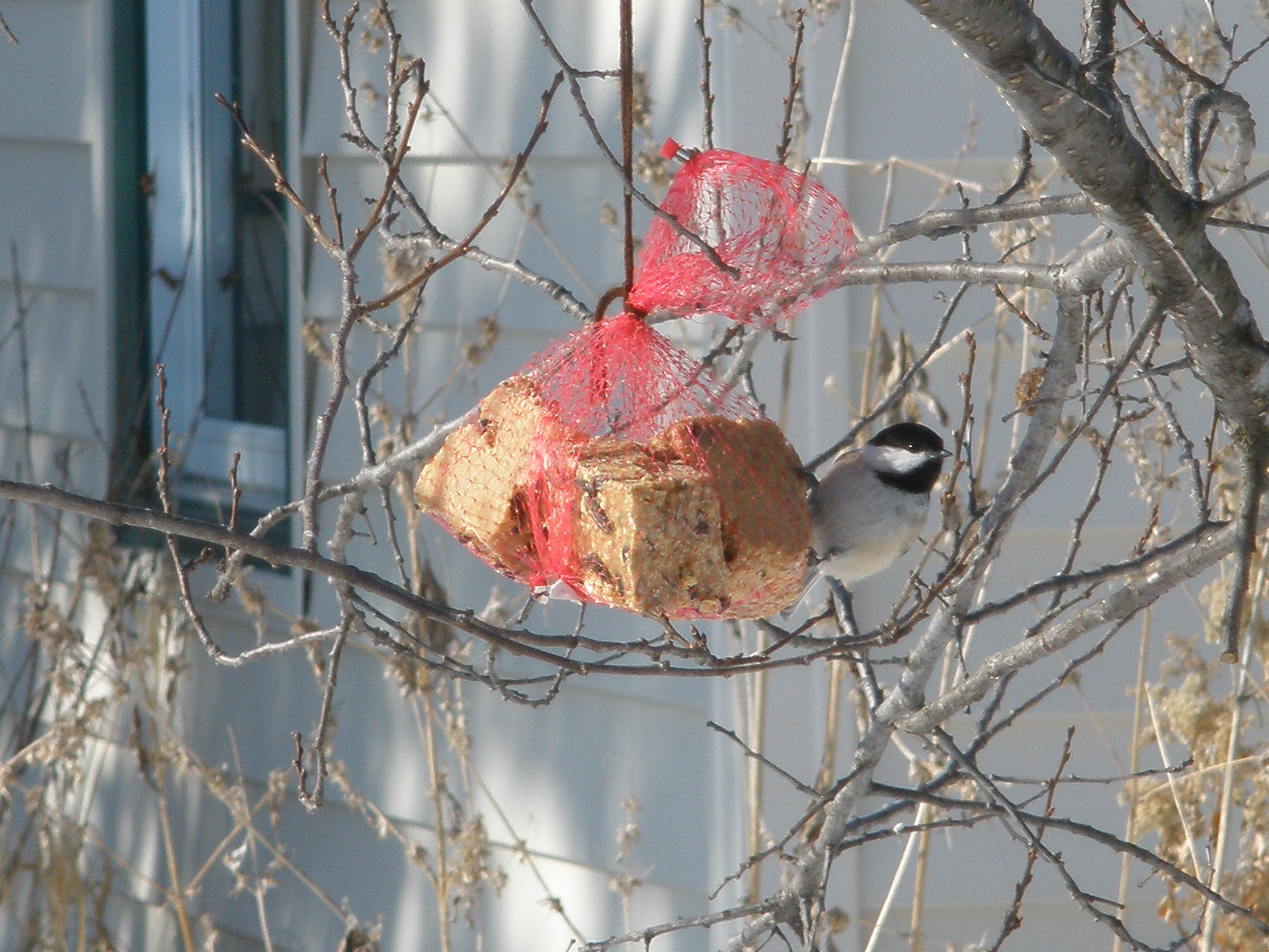 Black Capped Chickadee on Feeder