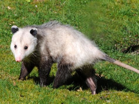 Virginia Opossum · University of Puget Sound