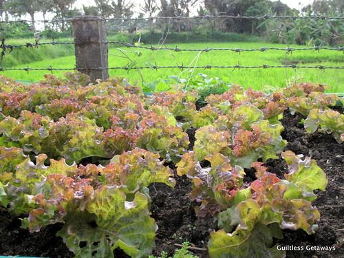 organic-lettuce-philippines