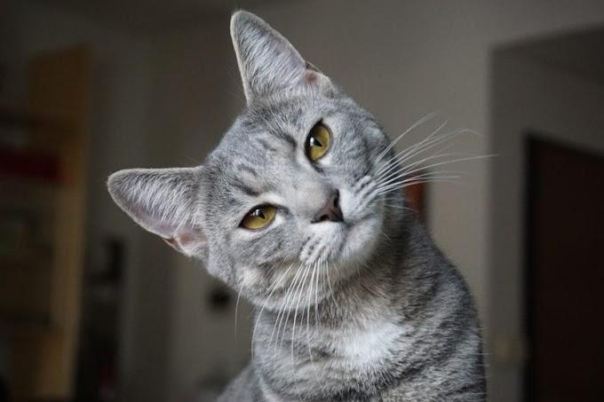 ¿Cuál es la vida media de un gato?