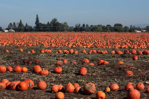 A Sea of Pumpkins...