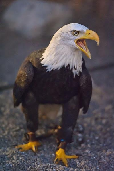 Bald Eagle at Birds of Prey Dubai