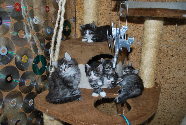 Les 6 chatons de la Portée Armada - 6