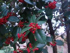 holly berries (1)