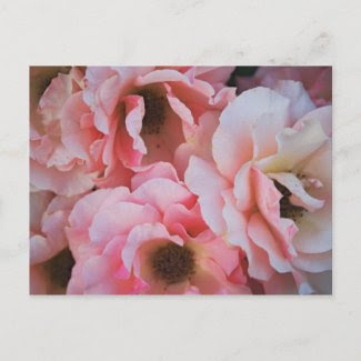 Gentle Pink Rose Blooms - Flower photography Postcards