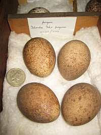 Clutch of four peregrine eggs in the collections at Derby Museum & Art Gallery. Egg collecting today is an illegal act, and their are especially serious penalties for those taking eggs of rare species