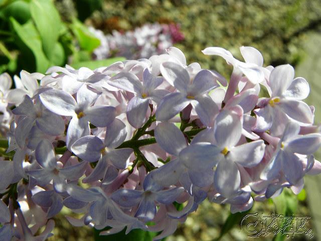 """DSCN3266 """"Skidmore"""" Lilac blooms"""