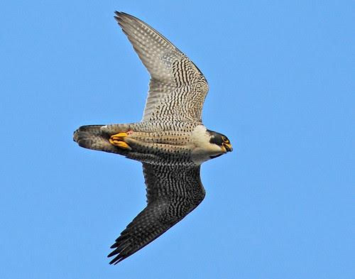 Female Peregrine in flight