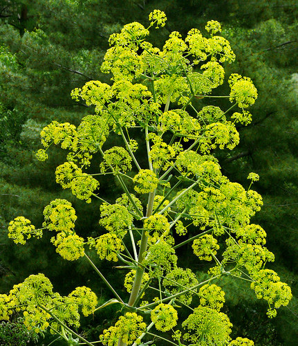 Ferula assafoetida #1 by J.G. in S.F.