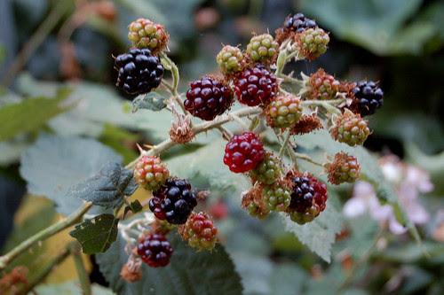 Wild blackberries by Eve Fox copyright 2008