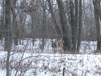 Deer on the way to the race. Four others crossed in front of the car