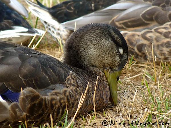 Beak planting