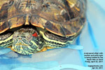8-inch long red-eared slider turtle with puffy and swollen eyes - singapore - toapayohvets