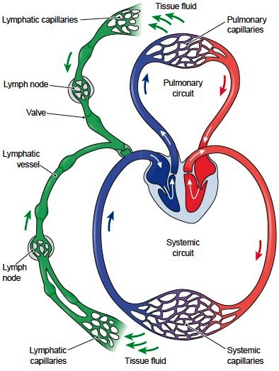 The%20lymphatic%20system%20in%20relation%20to%20the%20cardiovascular%20system