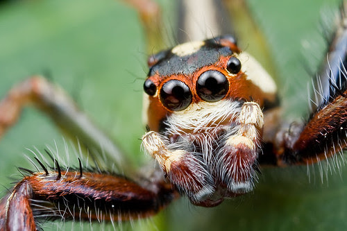 male telamonia sp jumping spider IMG_8305 copy