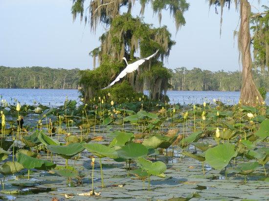 Louisiana: A beautiful bird in flight