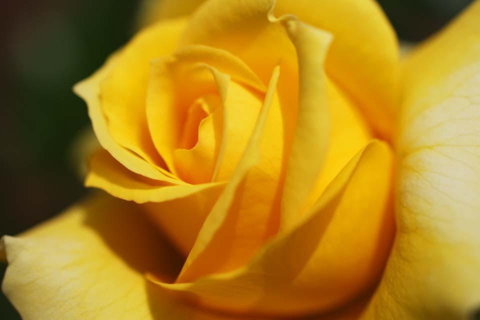 ゆんフリー写真素材集 No 2553 黄色いバラ 日本 奈良