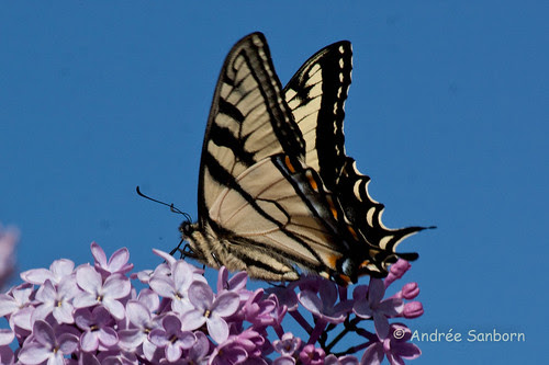 Eastern Tiger Swallowtail (Papilio glaucus)-8.jpg