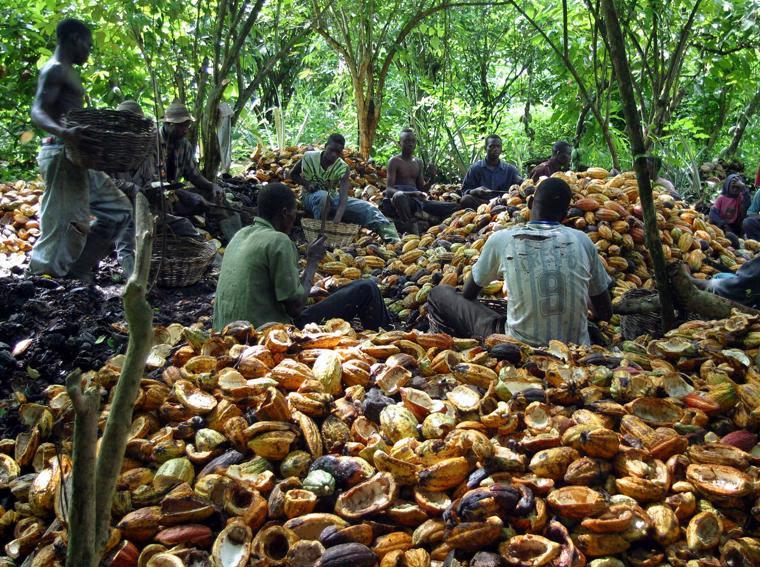 Alcuni contadini aprono le fave di cacao in una piantagione di Niable, a 200 chilometri da Abidjan (foto Reuters)
